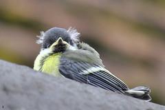 _DSC1546 - BB mésange (Le To) Tags: nikond5000 nature oiseau bird mésange effetbokeh