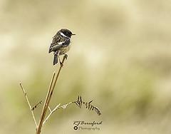Male Stonechat (Richard Beresford) Tags: 2019 april barbrookplantation barlow birds canon7dmk2 nature peakdistrict sigma150600mm spring stonechat wildlife