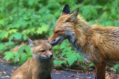 Love Is... Eating The Mites Out Of Your Child's Ear Probably (curious_spider) Tags: fox redfox foxes babyfoxes foxcub foxkit kit vulpine puppycat
