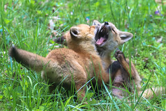 The Tussle (curious_spider) Tags: fox redfox foxes babyfoxes foxcub foxkit kit vulpine puppycat