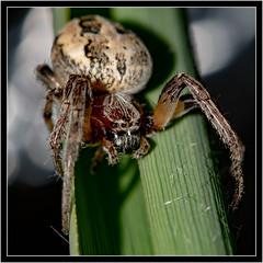 Spinne (robert.pechmann) Tags: insekt spinne makro macro robert pechmann spider