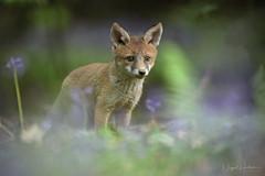 Fox Cub (Nigel Hodson) Tags: canon 1dxmkii 600mmf4ii 14x fox foxcub cub wildlife wildlifephotography nature naturephotography bluebells spring