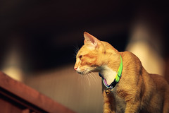 Urban Stalker 😺 (stratman² (Joey's finally home)) Tags: canonphotography eos450d ef70200mmf28lisusm babykat gingercats cc100 catmoments flickrelite felinephotography pet portrait kitteh chat neko gato ef70200l