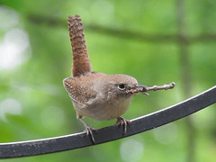 House Wren - Nest Building by the Male (annette.allor) Tags: wren house songbird bird wildlife nature nest box twigs sticks