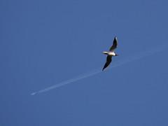 Чайка и самолет (Anton Mudrilov) Tags: птица чайка небо полет ландшафт самолет