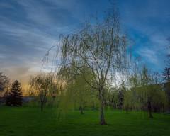 Coolguyl (1 of 1)-2 (jasonwilson233) Tags: tree green park willow evening outdoors outside sky clouds portcredit mississauga ontario canada nature trees amateur photography nikon wideangle adobe lightroom jasonwilson