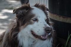 Anthony the Border Collie 🐾 (unbunt.me) Tags: fujixpro2 bw fuji anthony blackandwhite blackwhite dog acros nikon bordercollie hund lrcc fujifilm