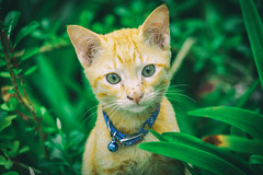 """""""YOO HOO! GUEZZ HOO?"""" 😻 (stratman² (Joey's finally home)) Tags: canonphotography eos450d efs55250mmf456is littlejoey kitten chat felineportrait flickrelite cc100 creativecommons colorful kitteh catmoments kittysuperstar kittenmagazine cmwdgreen"""