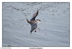 mouette plongeon-1 (Chris et Phil) Tags: oiseau mouette plonge pêche