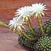 White cactus blooms