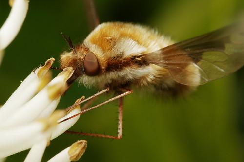Beau Bombyle Botanique