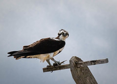 Male Osprey (lablue100) Tags: birdsofprey birds bird osprey male fish food perch wings talons nature sky action angry eyes mad beauty hungry