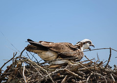 Pushing out an Egg (lablue100) Tags: osprey female laying layinganegg birdsofprey nest motherhood sky colors animals feathers pain crying