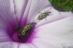 brotando (abelhário) Tags: besouro beetle tor käfer kever corriola