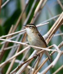 Sedge Warbler (wryneck94) Tags: birdwatching somersetlevels somerset