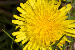 Springtails on a Dandelion (brucetopher) Tags: globular springtail collembola arthropod arthropoda hexapod hexapoda six dicyrtomidae spring jump graze eat meander crawl creature tiny micro macro microworld legged legs semitransparent transparent yellow dandelion dandilion flower petal petals bug bugs pistil stamen weed buggy party small creatures animal life