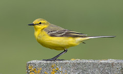 Yellow Wagtail (wryneck94) Tags: birdwatching somersetlevels somerset