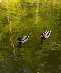 IMG_20190509_214927 (V_Sykov) Tags: утка duck water lake moscow москва