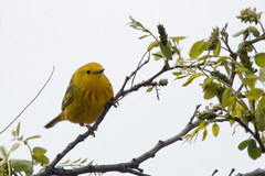 Little Yellow Birdie (Anna Gurule) Tags: birds yellow little flying birdie spring artedgy annagurule annaortizgurule animals eldorado newmexico nature