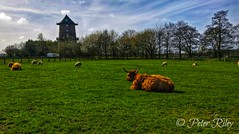 Highland Cow enjoying the sunshine. (peterileypics) Tags: cow cattle highland grass wildlife park animal cute lightroom