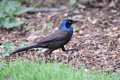 """QUICK STEP"", ACA PHOTO (alexanderrmarkovic) Tags: grackle aca photo quickstep"