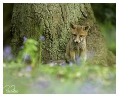 on my own again (richgparkes) Tags: fox cub family bluebells nature wood animal spring