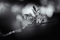 The end of the beauty of it all (Ans van de Sluis) Tags: ansvandesluis bokeh bokehlicious flora floral green leaf leaves macro march nature sunset nederland bw blackwhite monochrome