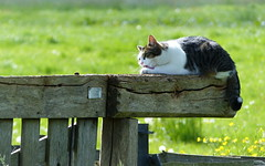 happy miauw friday! (berber hoving) Tags: fence wood cat satisfied hff