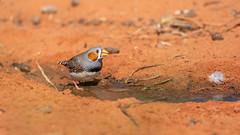 Zebra Finch (Taeniopygia guttata), male (sam_hierofalco) Tags: aves estrildidae taeniopygia guttata