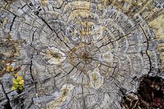 A Study in Life (Mitymous) Tags: california flowers macros nikon55macro spring2019 thomas travel stump