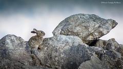 Conejo silvestre (Oryctolagus cuniculus) (Hernan Linetzky Mc-Manus) Tags: conejo