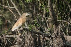 DSC00849 Ralreiger, Squacco Heron, Ardeola ralloides. (jwsteffelaar) Tags: ardeolaralloides ralreiger squaccoheron
