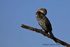 4J7A2181_Cormoran africain (Puce55-Elisabeth,) Tags: kenya baringo oiseaux birds wildlife cormoran