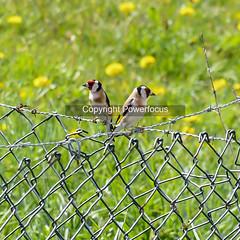 European goldfinch (powerfocusfotografie) Tags: europeangoldfinch bird wildlife birdlife nature putter distelvink cardueliscarduelis barbedwire barbwire pasture meadow green fence grass groningen holland henk nikond7500 powerfocusfotografie