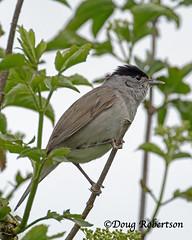 Blackcap (M) at Ham Wall (DougRobertson) Tags: blackcap hamwall rspb animal wildlife nature bird birdwatcher