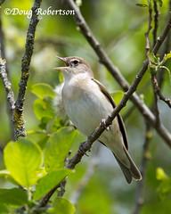Garden Warbler in song (DougRobertson) Tags: rspb hamwall bird birdwatcher reedwarbler wildlife animal nature somerset