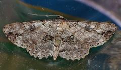 Hugger Moth Cleora sp Boarmiini Ennominae Geometridae Teenas rainforest Airlie Beach P1050215 (Steve & Alison1) Tags: hugger moth geometridae teenas rainforest airlie beach cleora sp boarmiini ennominae
