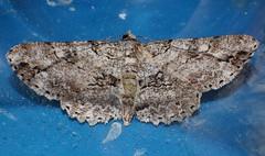 Hugger Moth  Cleora sp Boarmiini Ennominae Geometridae  Teenas rainforest Airlie Beach P1050213 (Steve & Alison1) Tags: hugger moth geometridae teenas rainforest airlie beach cleora sp boarmiini ennominae