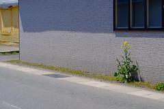I'm not a dandelion. (しまむー) Tags: fujifilm xe2 ebc fujinon 55mm f18 velvia yokohama kabushima 横浜 蕪島 八戸 蕪島神社 菜の花