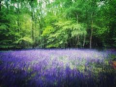 Bluebell Wood 2. (andypf01) Tags: naturalhistory nature flora plants flowers bluebells trees forest wood woodland colour green blue violet spring stevenage hertfordshire england spectre