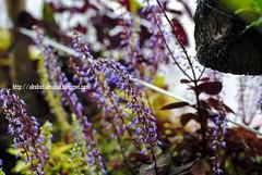 English Lavender (Lt Fukai Enterprise ( akubudaknakal )) Tags: flower bunga sabah sabahtourisim kundasang mile36lodge malaysia malaysiavisit closeup nikon nikkor d3000