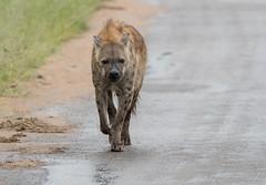 Hyaena (dunderdan77) Tags: hyaena animal mammal angry nature wildlife outdoor kruger national park south africa mpumalanga nikon tamron d500 photo