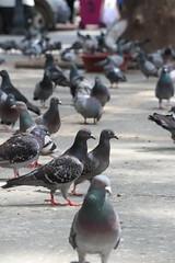 Güvercin Çifti (ozan.ozer) Tags: pigeon güvercin avlu adana çift couple street streetphoto