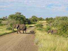 Slow and Steady (cnener) Tags: elephant kruger safari africa southafrica
