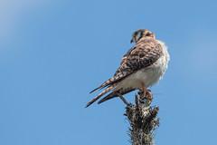 Falconidae - Falco sparverius ♂ (Pericles Brea Torrens) Tags: falconiformes falconidae falcosparverius fsdominicensis americankestrel crécerelledamérique cernícalo cernícaloamericano cuyaya constanza repúblicadominicana laespañola lahispaniola p71 l10 pbt9411