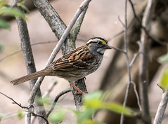 015A6316 White-throated Sparrow (suebmtl) Tags: bird birding ontario coopermarsh whitethroated sparrow migration springmigration zonotrichiaalbicollis canada