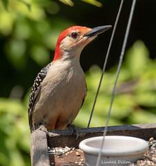 Red-bellied Woodpecker (Lindell Dillon) Tags: redbelliedwoodpecker clingingbirds birds birding alabama fortmorgan