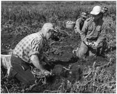 Workers digging out the first new potatoes from the peat-like soil of the Klondike Gardens, Ontario / Travailleurs déterrant les premières pommes de terre d'un sol tourbeux aux Jardins Klondike (Ontario) (BiblioArchives / LibraryArchives) Tags: lac bac libraryandarchivescanada bibliothèqueetarchivescanada canada potato potatoes pommedeterre pommesdeterre peat soil klondikegardens ontairo men hommes 19301960 departmentofmanpowerandimmigration ministèredelamaindoeuvreetdelimmigration