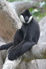 Male White Cheeked Gibbon is lounging on warm branch (jungle mama) Tags: whitecheekedgibbon lounging branch tree black white blackandwhite fur miamizoo metrozoo susanfordcollins coth5