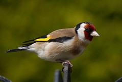 Goldfinch (Chris.Small) Tags: garden bird rspb nature wildlife teesside cleveland redcar goldfinch finch